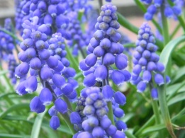 Blues and greens in grape hyacinths